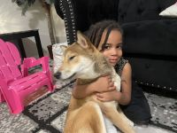 Shiba Inu Puppies for sale in 2327 Republic Way, Missouri City, TX 77489, USA. price: NA