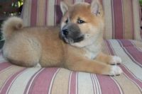 Shiba Inu Puppies for sale in Trumbull, CT 06611, USA. price: NA