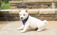 Shiba Inu Puppies for sale in Torrance, CA, USA. price: NA