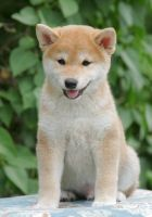 Shiba Inu Puppies for sale in Queen Creek, AZ, USA. price: NA