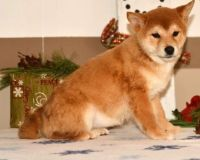 Shiba Inu Puppies for sale in Alexandria, OH 43001, USA. price: NA