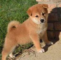 Shiba Inu Puppies for sale in San Francisco, CA, USA. price: NA
