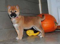 Shiba Inu Puppies for sale in Oklahoma City, OK, USA. price: NA