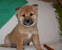 Shiba Inu Puppies for sale in Ashburn, VA, USA. price: NA