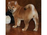 Shiba Inu Puppies for sale in Austin, TX, USA. price: NA