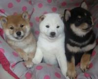 Shiba Inu Puppies for sale in Des Moines, IA, USA. price: NA
