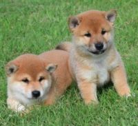 Shiba Inu Puppies for sale in Stamford, CT, USA. price: NA