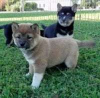 Shiba Inu Puppies for sale in Cheyenne, WY, USA. price: NA