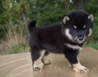 Shiba Inu Puppies for sale in Portland, OR 97207, USA. price: NA