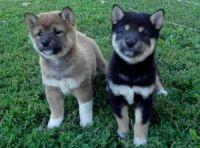 Shiba Inu Puppies for sale in Chicago, IL, USA. price: NA