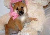 Shiba Inu Puppies for sale in Burlington, VT, USA. price: NA