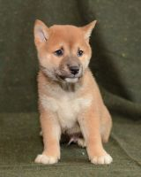 Shiba Inu Puppies for sale in Denver, CO, USA. price: NA