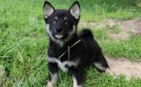 Shiba Inu Puppies for sale in Dickinson, ND 58601, USA. price: NA
