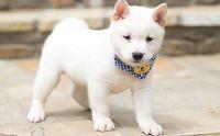 Shiba Inu Puppies for sale in Bristol, ME, USA. price: NA