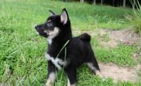 Shiba Inu Puppies for sale in Downey, CA, USA. price: NA