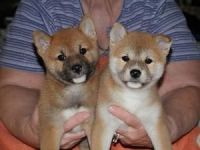 Shiba Inu Puppies for sale in Raleigh, NC, USA. price: NA