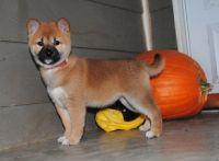 Shiba Inu Puppies for sale in New Orleans, LA, USA. price: NA