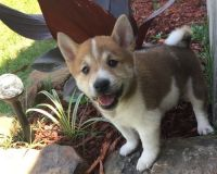 Shiba Inu Puppies for sale in Bluff City, AR, USA. price: NA