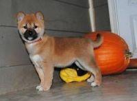 Shiba Inu Puppies for sale in Wichita, KS, USA. price: NA