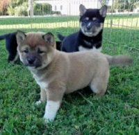Shiba Inu Puppies for sale in Sacramento, CA, USA. price: NA