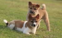 Shiba Inu Puppies for sale in Norman, OK, USA. price: NA