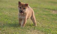 Shiba Inu Puppies for sale in Eudora, AR 71640, USA. price: NA