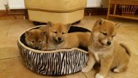 Shiba Inu Puppies for sale in California St, San Francisco, CA, USA. price: NA