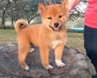 Shiba Inu Puppies for sale in Boston, MA, USA. price: NA