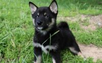 Shiba Inu Puppies for sale in Guernsey, WY, USA. price: NA