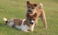 Shiba Inu Puppies for sale in Metairie, LA, USA. price: NA