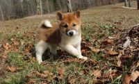 Shiba Inu Puppies for sale in Rowlett, TX, USA. price: NA