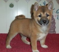 Shiba Inu Puppies for sale in Los Angeles, CA, USA. price: NA
