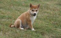 Shiba Inu Puppies for sale in Reno, NV, USA. price: NA