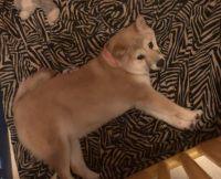 Shiba Inu Puppies for sale in Buffalo, NY, USA. price: NA