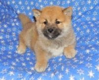 Shiba Inu Puppies for sale in Portland, OR, USA. price: NA
