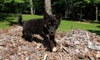 Shiba Inu Puppies for sale in Chesnee, SC 29323, USA. price: NA