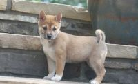 Shiba Inu Puppies for sale in Rowland, PA, USA. price: NA