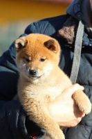 Shiba Inu Puppies for sale in Maryland Heights, MO, USA. price: NA