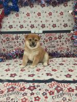 Shiba Inu Puppies for sale in Sparks, NV, USA. price: NA