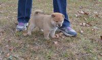 Shiba Inu Puppies for sale in Chicago, IL 60638, USA. price: NA