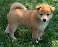 Shiba Inu Puppies for sale in Minneapolis, MN, USA. price: NA