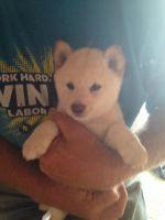 Shiba Inu Puppies for sale in Norfolk, NE, NE, USA. price: NA