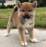 Shiba Inu Puppies for sale in Sacramento, CA 95834, USA. price: NA