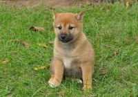 Shiba Inu Puppies for sale in Columbus, OH, USA. price: NA