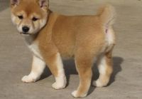 Shiba Inu Puppies for sale in Dallas, TX, USA. price: NA