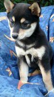 Shiba Inu Puppies for sale in Salt Lake City, UT, USA. price: NA