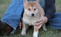 Shiba Inu Puppies for sale in Las Vegas, NV 89107, USA. price: NA