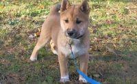 Shiba Inu Puppies for sale in Milwaukee, WI 53218, USA. price: NA
