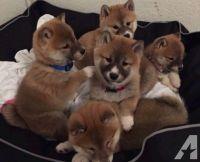 Shiba Inu Puppies for sale in Ohio Dr, Plano, TX, USA. price: NA