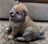 Shiba Inu Puppies for sale in Mountain Brook, AL 35259, USA. price: NA